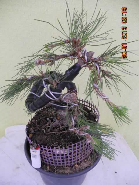pinheirodepois